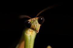 カマキリの黒い目