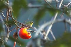 光る柿にメジロ   (メジロ17)