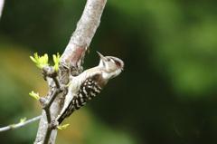 新緑のコゲラ
