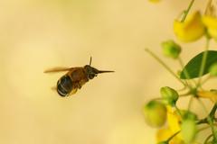蜜を集めるミツバチ_4