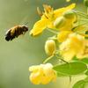 蜜を集めるミツバチ_2