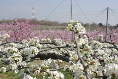 梨と桃の競演