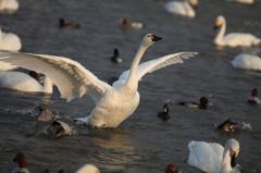 白鳥`11朝の風景編