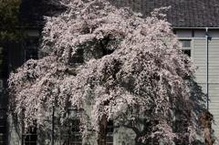桜`10(朝の桜編)