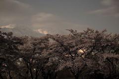 桜と山`10(夜編)