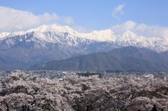 桜と山`10(朝編)