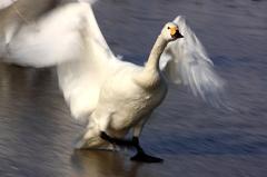 白鳥2010(撮り初め)