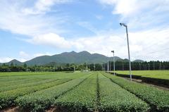 茶畑(南さつま)
