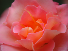 花びら ~Rose~
