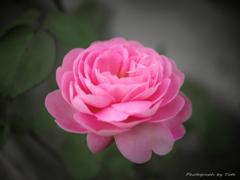 Rose ~薔薇~