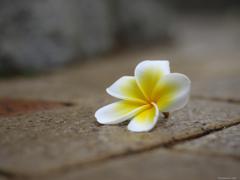 散りても 咲きし花