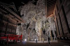 桜 舞いし夜 ~妖艶の舞~