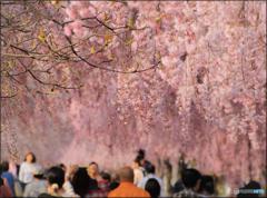 春色Road ~枝垂れ桜の散歩道~