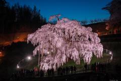 日本三大桜 滝桜
