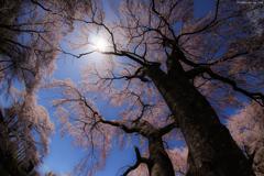 天高く 桜花舞う