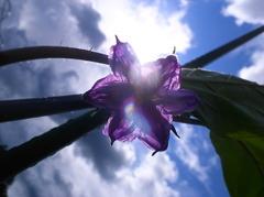 茄子の花と夏の太陽