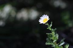 日陰に咲く