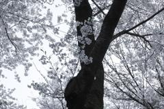 桜-2011-2