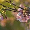 桜と菜の花、春の日差し