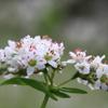 朝露と蕎麦の花