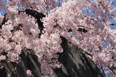 石碑と枝垂桜