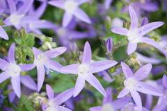 花壇の青い星