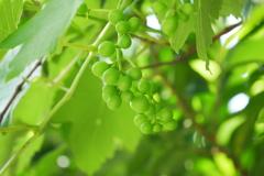 あおい葡萄