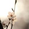 午後の陽を透過する胴吹桜