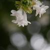 木洩れ日とハナゾノツクバネウツギ