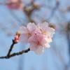 チラホラ河津桜