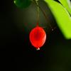 紅い実を透過する木洩れ日