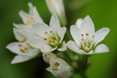 茗荷の間から顔を出した白い花