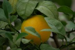 色づき始めたレモンの黄色が目に優しい♪