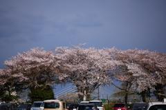 怪しい空と名残の桜