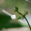 モロッコインゲンの白い花