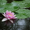 睡蓮の池に雨の波紋
