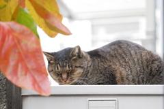 キジトラと秋の柿の葉