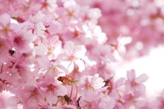 光と河津桜