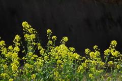 菜花に陽が射す