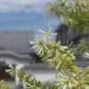 トキワマンサクの咲く風景