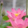 蓮池の桃色