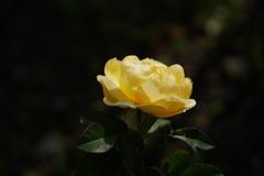 初冬の薔薇