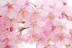 柔らか河津桜