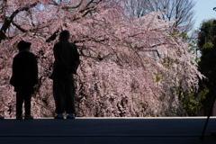 枝垂桜を山門から愛でる