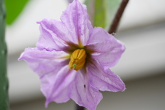順調な生育を見せるナスの花