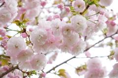 フワッフワな八重桜