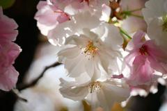 透過光の八重桜