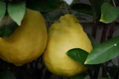謎の巨大柑橘
