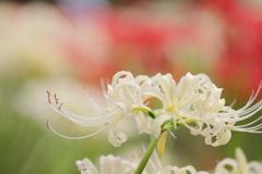 白花彼岸花、開放で柔らかに
