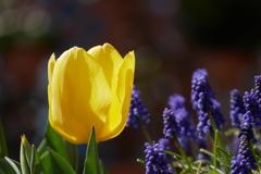 ムスカリと黄色いチューリップ